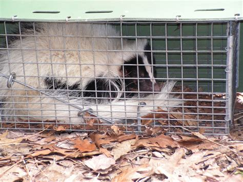 how to get rid of skunks skunk skunk removal