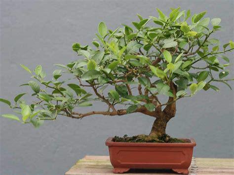 terriccio per limoni in vaso limone bonsai citrus limon giardinaggio mobi