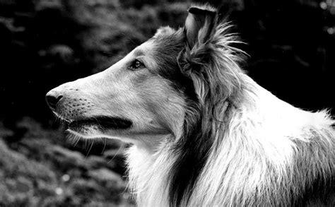 what of is lassie the most farm lassie modern farmer
