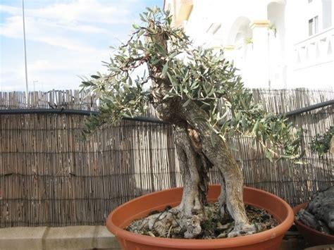 olivo in vaso ulivo in vaso piante da giardino coltivare ulivi in vaso