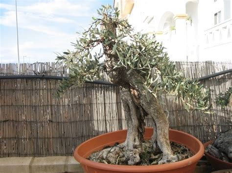 piante in vaso ulivo in vaso piante da giardino coltivare ulivi in vaso