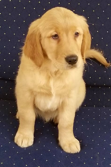 golden retriever trained dogs for sale trained golden retriever for sale s best friend