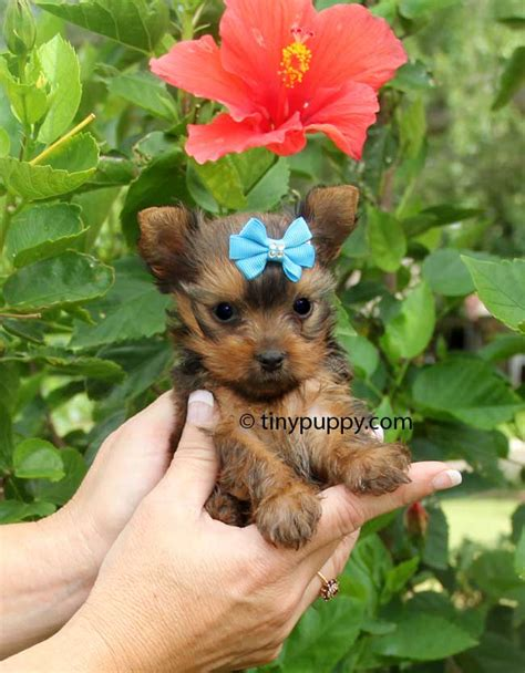 golden teacup yorkie micro golden yorkie tiny reese tinypuppy