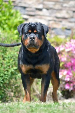 purebred german rottweilers for sale best 25 german rottweiler ideas on rottweiler