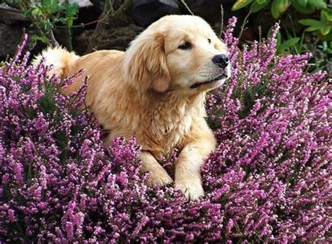 lavender on dogs golden lavender awesomeness
