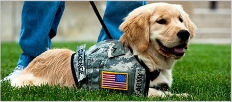 working golden retriever puppies working golden retriever dogs golden retriever experts