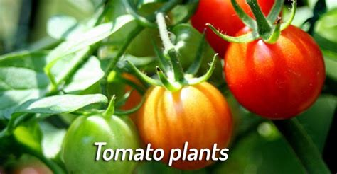 are tomatoes bad for dogs 10 common vegetables and fruit that can kill or hurt your beware