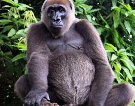 Pin Cartoon Gorilla Pictures on Pinterest