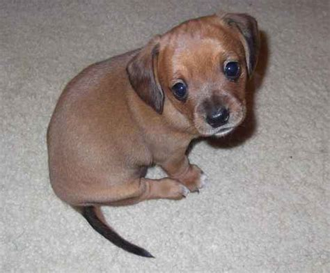 yorkie weenie the chiweenie designer photo gallery 10770