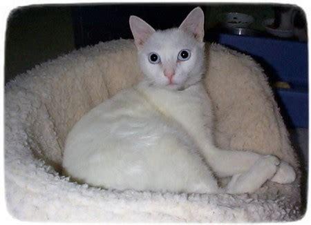 small rescue ma siamese cat rescue florida cats pet photos gallery lk2loqekey