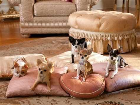 beverly puppies beverly chihuahua 2 puppies 1920x1440