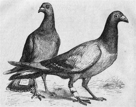 themes in pigeon english messages from the past carrier pigeons at the schuyler