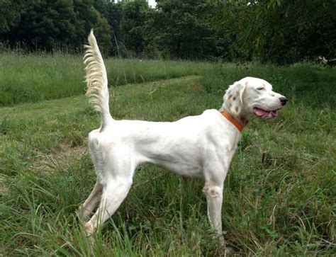 English Setter Field Trial Dogs For Sale | started dogs waymaker setters english setters fdsb
