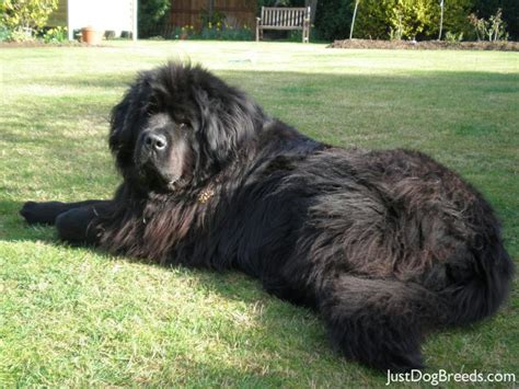 big dogs large breeds list