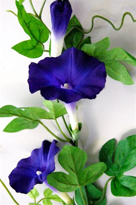 morning glory flowers pinterest flowers gardens and