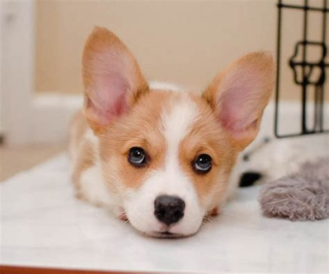 the cutest puppy on earth 35 of the most cutest puppies on earth yummypets