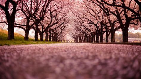 wallpaper pemandangan alam di jepang gambar bunga sakura jepang indah cantik gambar kata kata