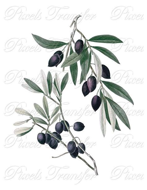 Instan Olive by Olives Olea Europea Instant Digital By
