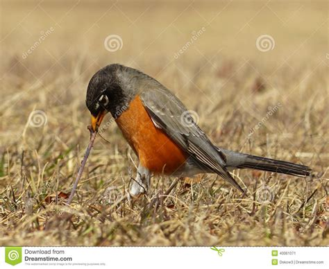 american robin pulling a worm stock image image 40061071