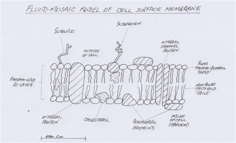 membrane structure abc ib biology