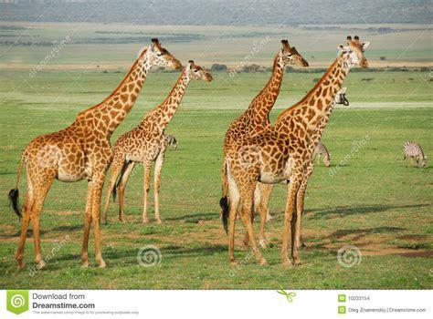 imagenes de jirafas en 3d manada de las jirafas imagenes de archivo imagen 10233154