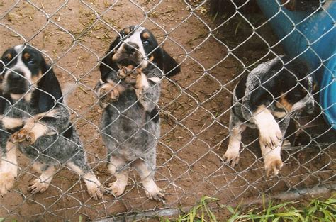 bluetick puppies for sale country bluetick cameron puppies for sale high blueticks picture to pin on