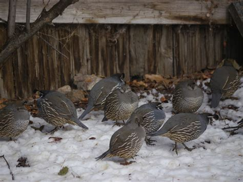 Backyard Quail backyard quail cool green science