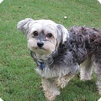 yorkie rescue ga athens ga yorkie terrier poodle or tea cup mix meet molly a
