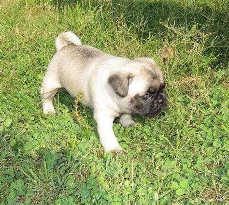 pug puppies for sale 100 dollars t cup puppies 100 dollars for sale united states pets 1