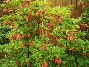 Japanese Backyard Enkianthus Campanulatus Red Bells Hortophile My New