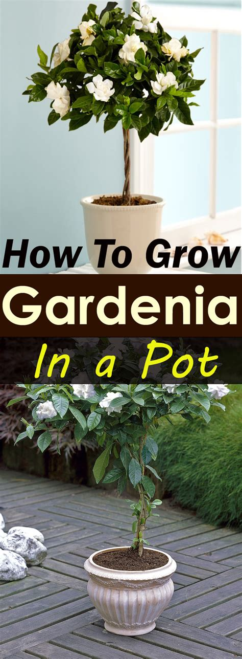 how to care for a growing gardenias in pots gardenia tree care and how to grow it balcony garden web