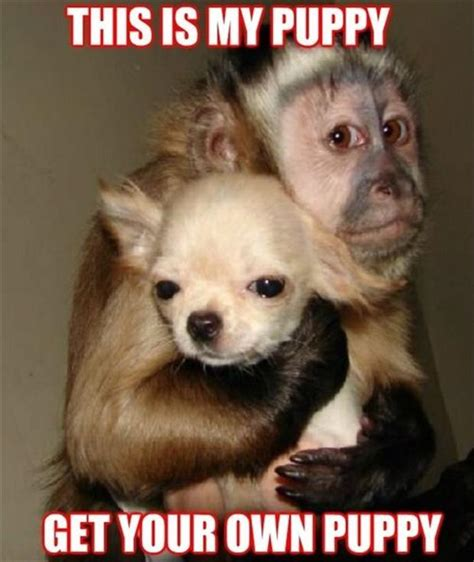 how will my puppy get this is my puppy get your own puppy monkey memes and comics