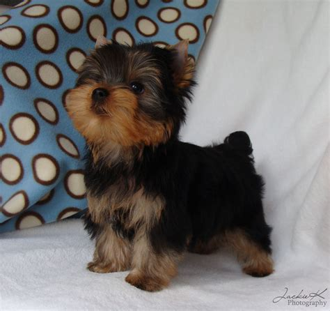 pics of yorkies puppies yorkie puppy cut cake ideas and designs