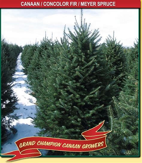 canaan fir wisconsin tree guy