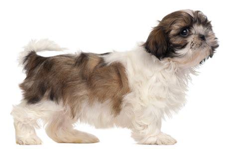 shih tzu smart shih tzu puppy salon