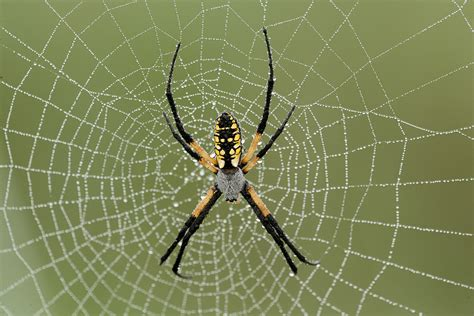 Garden Spider The Itsy Bitsy Garden Spider Missouri Department Of