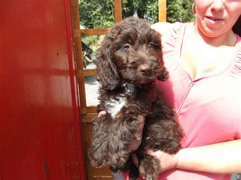 sproodle puppies for sale sproodle puppies for sale chichester west sussex pets4homes