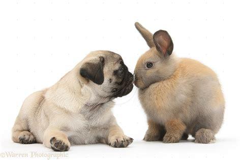 pug bunny pug and bunny