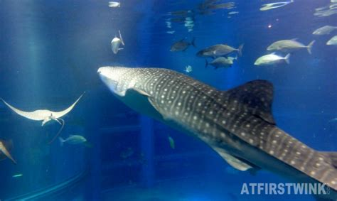 baby shark japan a tour inside osaka aquarium kaiyukan part 2