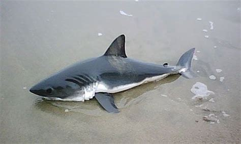 baby shark official baby great white sharks baby great white shark marine