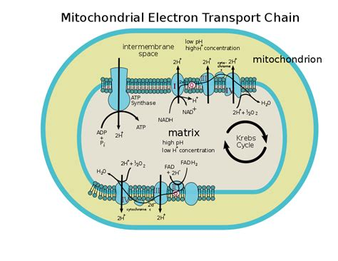 diagram of electron transport file mitochondrial electron transport chain annotated