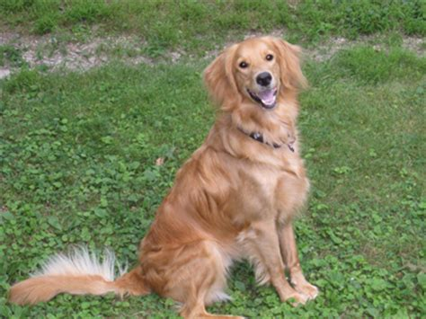 poodle golden retriever mix pictures what is a golden retriever poodle mix called dogs in our photo