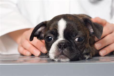 bloody diarrhea in dogs hemorrhagic gastroenteritis bloody diarrhea in dogs