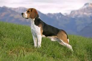 beagle breed information