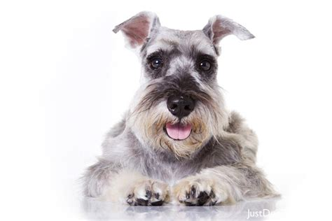 miniature schnauzer dog breed miniature schnauzer11 jpg miniature schnauzer dog breeds