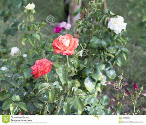 cespuglio con fiori bianchi cespuglio di con i fiori bianchi e rosa immagine