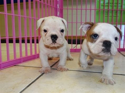 bulldog puppies for sale in ct bulldog puppies for sale in bridgeport connecticut ct newington