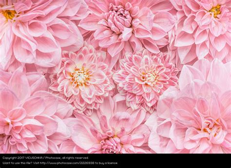 Rosa Blumen by Pastell Rosa Blumen Hintergrund Ein Lizenzfreies Stock