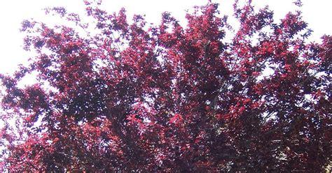 the 2 minute gardener photo purple leaf plum tree