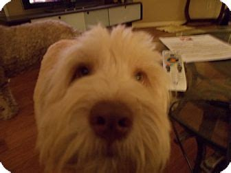 goldendoodle puppies nc rescue bentley adopted s foster apex nc goldendoodle mix